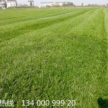 南京草坪基地-南京草坪批发基地-南京绿化草坪种植基地
