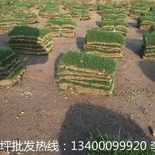 南京天堂草草坪基地在哪里—南京天堂草草坪哪里有的卖--南京天堂草草坪多少钱一个平方