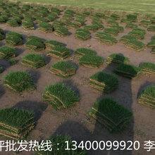 南京草坪基地在哪里—南京草坪哪里有的卖--南京草坪多少钱一个平方