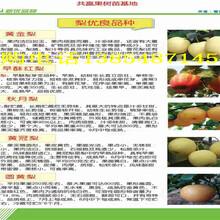 甘肃陇南毛桃树今卖多少钱一棵、毛桃树苗哪里有图片