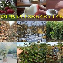 陕西延安晚熟桃树今卖多少钱一棵、晚熟桃树苗哪里有图片