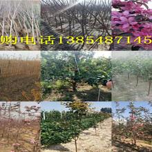 四川资阳哪里有3年富士苹果树出售图片