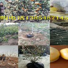 江西吉安桃树今卖多少钱一棵、桃树苗哪里有图片