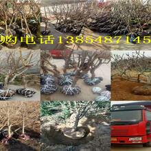江西新余毛桃树今卖多少钱一棵、毛桃树苗哪里有图片