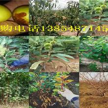 安徽淮南特大樱桃树今卖多少钱一棵、特大樱桃树苗哪里有图片