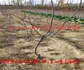河北唐山2年桃树最近卖什么价格