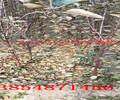 四川达州2年金秋红蜜树苗哪里有、2年金秋红蜜树苗多少钱卖