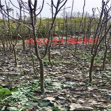 河南焦作5年蓝莓苗能卖多少钱-果树批发
