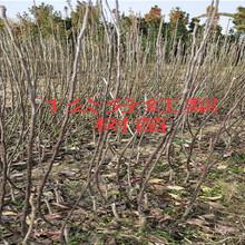 山东烟台杏李子树多少钱?挂果猕猴桃树苗上车价格图片