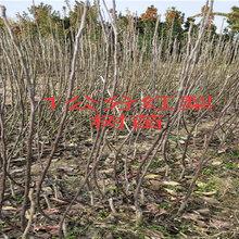 四川阿壩賣的2年風味皇后桃樹多少錢_3年風味皇后桃樹批發價