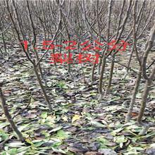 河南三门峡卖的晚熟桃树苗多少钱_果树苗育苗基地图片