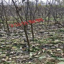 浙江台州卖的2年车厘子樱桃树多少钱_果树苗育苗基地图片