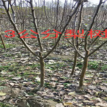 江西鹰潭卖的薄皮核桃树多少钱_果树苗育苗基地图片