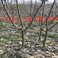 内蒙古呼和浩特新品种大樱桃树能卖多少钱-果树批发