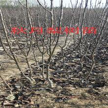 江西撫州賣的2年黑桃樹多少錢_3年黑桃樹批發價