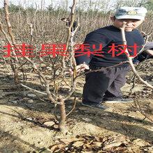 湖北黄冈新品种晚熟桃树能卖多少钱-果树批发