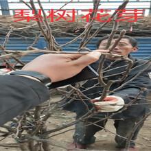 新疆新疆富士苹果树多少钱?挂果富士苹果树苗新品种价格图片