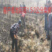 安徽安庆新品种晚熟桃树哪里有买_新品种晚熟桃树育苗基地图片