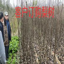 安徽淮北薄皮核桃树多少钱?挂果樱桃树苗附近哪里有图片