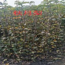 廣東珠海賣的2年布蘭瑞克無花果樹多少錢_3年布蘭瑞克無花果樹批發價