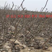湖北随州2年车厘子樱桃树能卖多少钱-果树批发