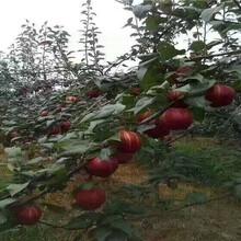 内蒙古鄂尔多斯卖的油桃树多少钱、新品种油桃树苗怎么批发图片