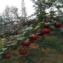 山东潍坊组培蓝莓苗能卖多少钱-果树批发