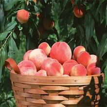 云南文山3晚熟桃树苗才卖多少钱5年冬桃树什么价格图片