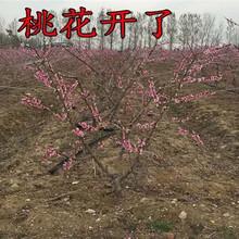 新疆巴音郭楞卖的桃树多少钱、新品种桃树苗怎么批发图片