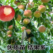 湖南常德2年车厘子樱桃树能卖多少钱-果树批发
