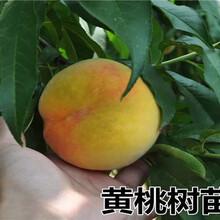 宁夏固原卖的3年蓝莓苗多少钱_果树苗育苗基地图片