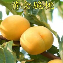 广东茂名卖的早熟桃树多少钱、新品种早熟桃树苗怎么批发图片