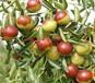 江蘇南京獼猴桃樹多少錢?掛果獼猴桃樹苗哪里有賣