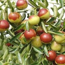 湖北湖北卖的晚熟雪桃树多少钱、新品种晚熟雪桃树苗怎么批发图片