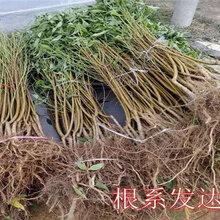 寧夏銀川賣的2年冬雪王桃樹多少錢_3年冬雪王桃樹批發價