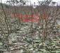 海南新品种晚熟桃树育苗基地-果树苗单价多少钱