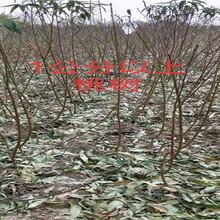 江西赣州卖的车厘子大樱桃树多少钱_果树苗育苗基地图片