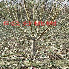 廣東茂名賣的2年晚熟梨樹多少錢_3年晚熟梨樹批發價