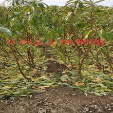 湖北鄂州3年车厘子樱桃树哪里有买_3年车厘子樱桃树育苗基地
