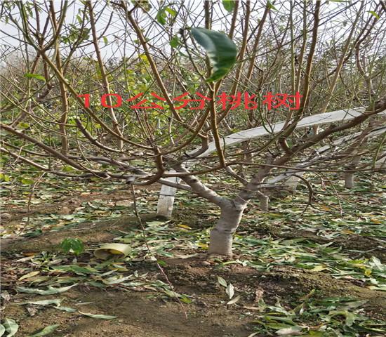 贵阳贵州黔东南卖的2年恐龙蛋李.图片