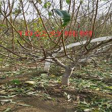 湖南張家界板栗樹育苗基地_2年新品種板栗樹苗報價