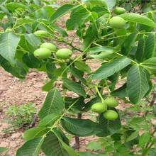 青海西宁卖的晚秋梨树多少钱、新品种晚秋梨树苗怎么批发图片