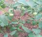广西防城港矮化樱桃树能卖多少钱-果树批发