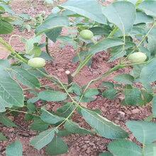 湖北黄石蓝莓苗能卖多少钱-果树批发
