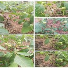 吉林松原3年蓝莓苗能卖多少钱-果树批发