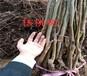 江西萍乡核桃树多少钱?挂果核桃树苗上车价格