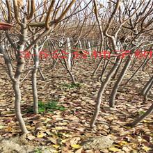 湖南娄底核桃树多少钱?挂果枣树苗主产区价格图片