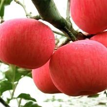 今年满天红梨树卖多少钱、新品种满天红梨树新品种价格图片