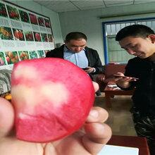 湖北黃岡賣的2年晚熟梨樹多少錢_3年晚熟梨樹批發價
