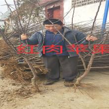 广东河源卖的黄金奈李子树多少钱、新品种黄金奈李子树苗怎么批发图片
